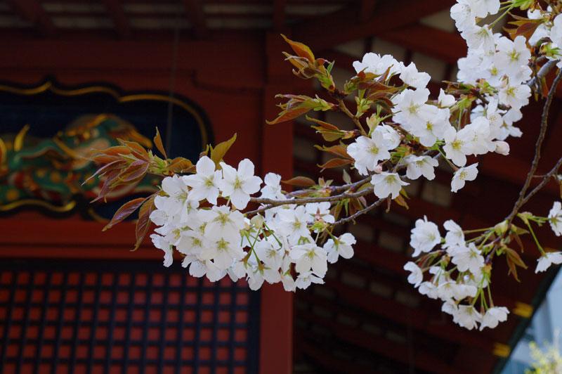 金王桜花びら